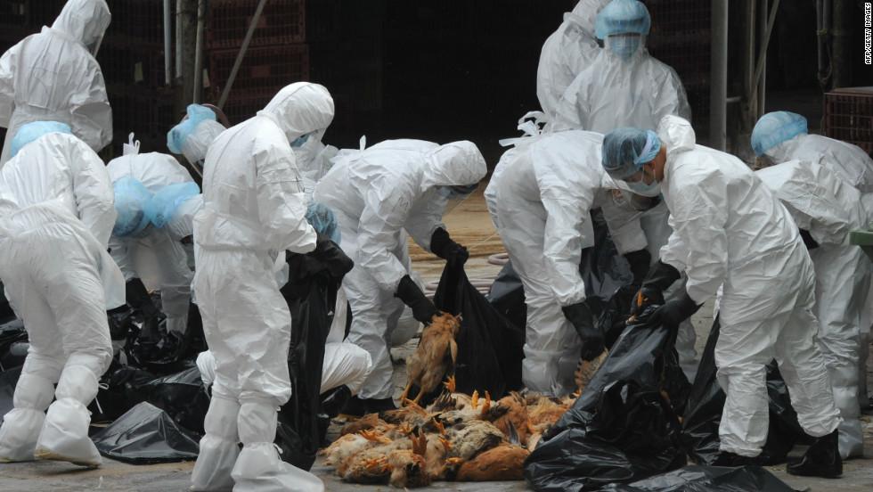 الأحتياطات الواجب أتخادها من قبل العاملين بحظائر ومحطات تربية الدواجن للتخلص من الطيور المصابة بأمراض فيروسية معدية.