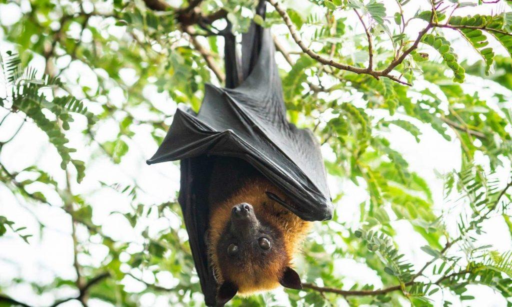 فيروسات الخفافيش